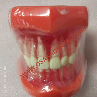 Dental Shape Teaching Model Natural size model (Removable)/Denture Teaching Model